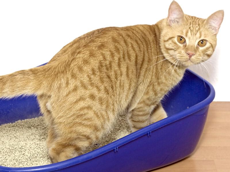 Malattie renali urinare dei gatti - Che malattie portano i gatti ...