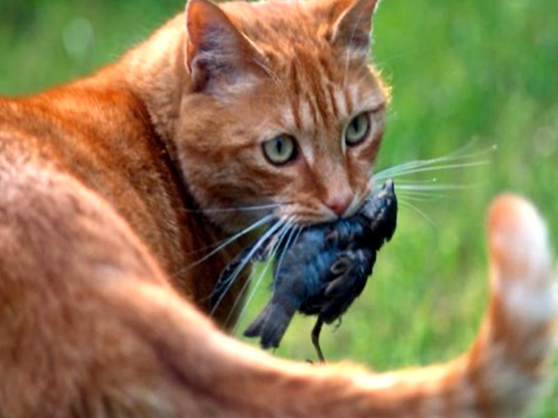I gatti pericolo per la biodiversit news - Cucina casalinga per gatti ...