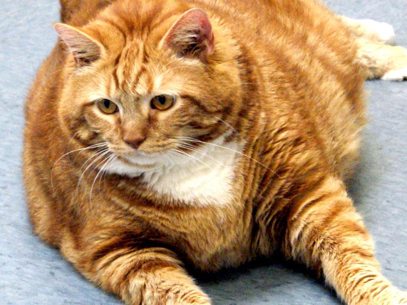 Obesità Del Gatto Mallatie Dei Gatti