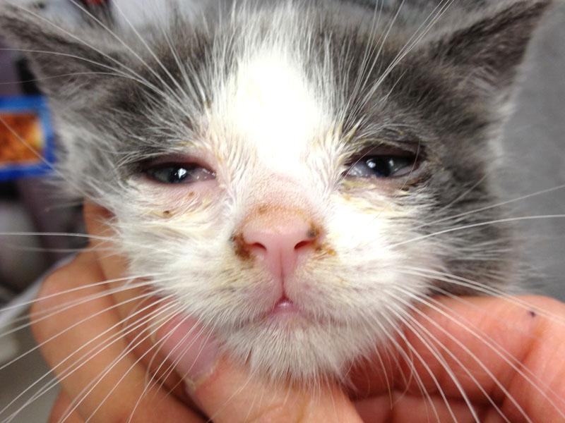 è una grave infezione oculare nei gatti contagiosi