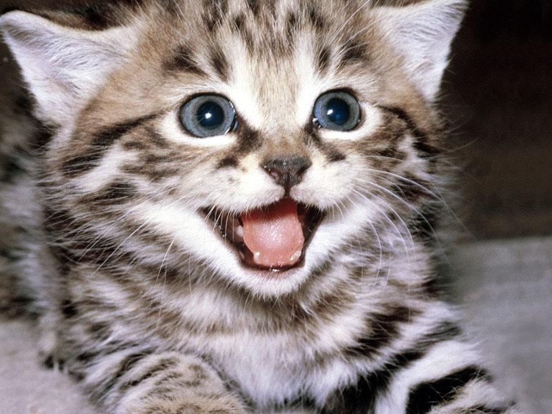 Il Miagolio Dei Gatti Cosa Vogliono Dire I Versi Dei Gatti E I