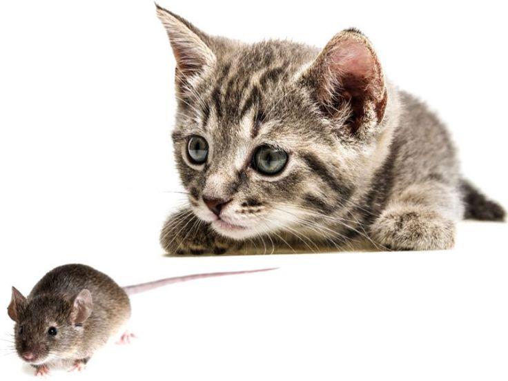 Gatto che caccia un topo