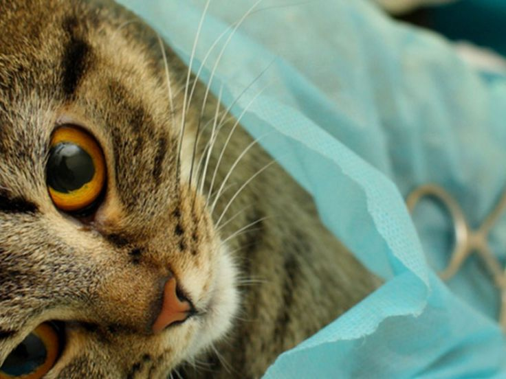 Sterilizzazione gatta