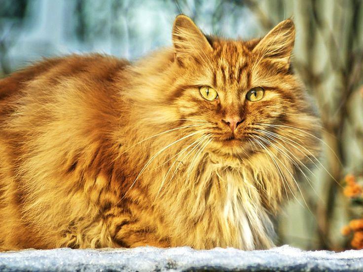Descrizione razze di gatti a pelo lungo