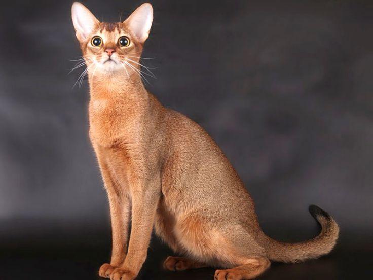 Razze gatti a pelo corto