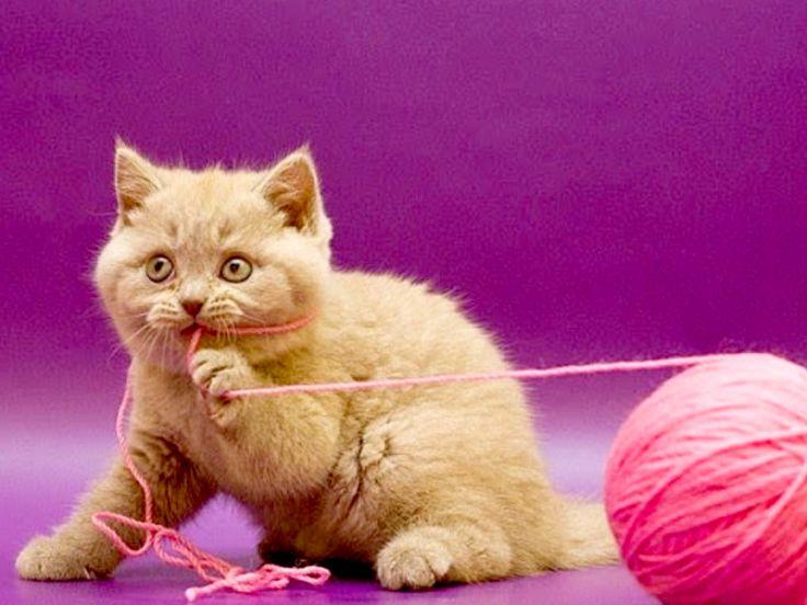 Gatto che mangia la lana