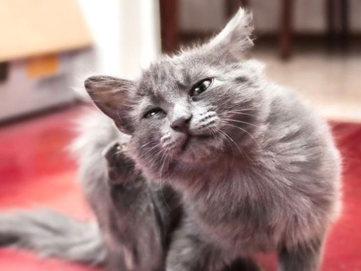 Allergie del gatto