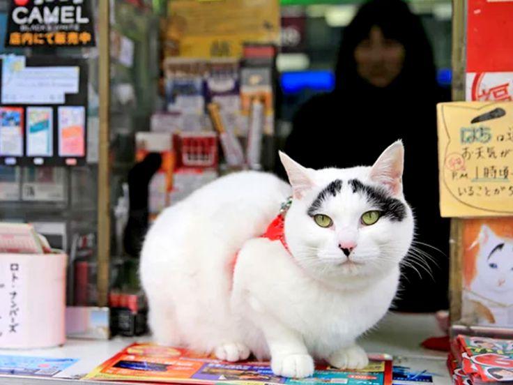 Hachi. Il gatto giapponese che porta fortuna