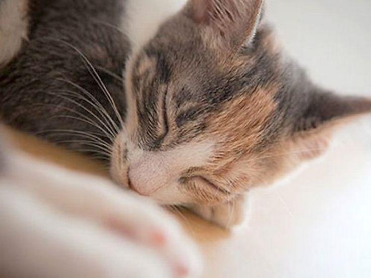 Malattie del gatto: leucemia felina