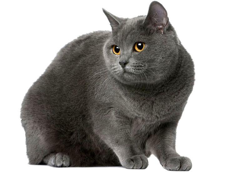 Razze dei gatti: il Certosino