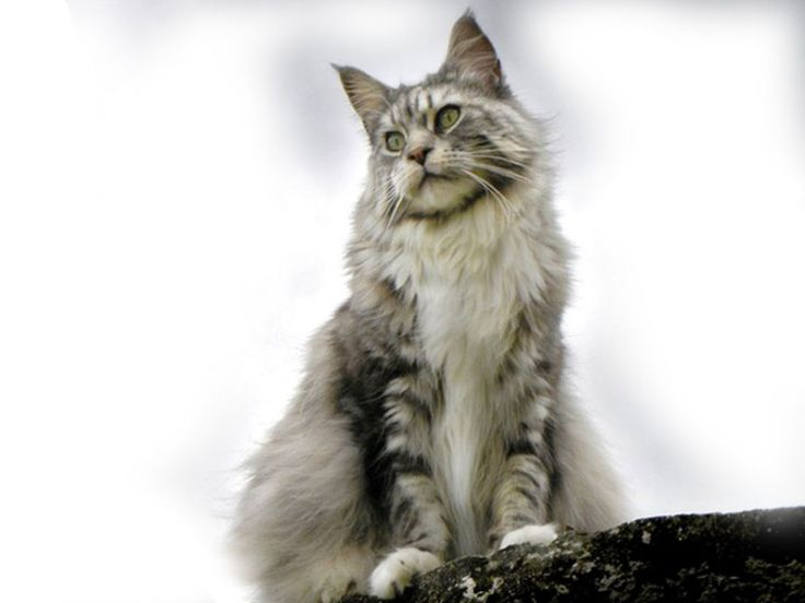 Razze gatti: Maine Coon