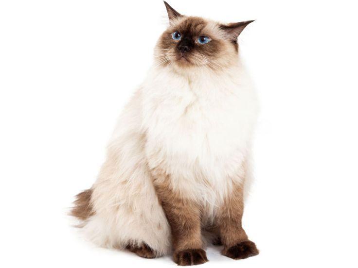 Ragdoll: razza felina