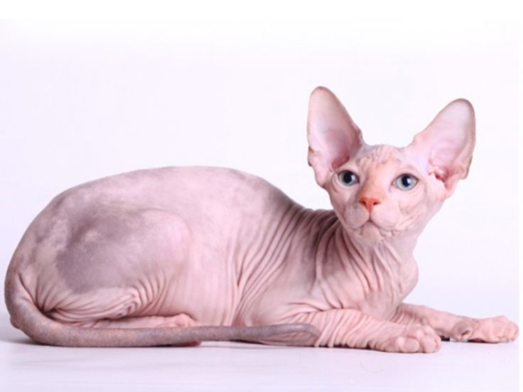 Razza felina: Sphinx
