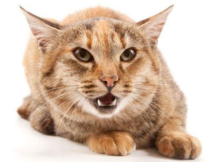Attractive Comunicazione Del Gatto
