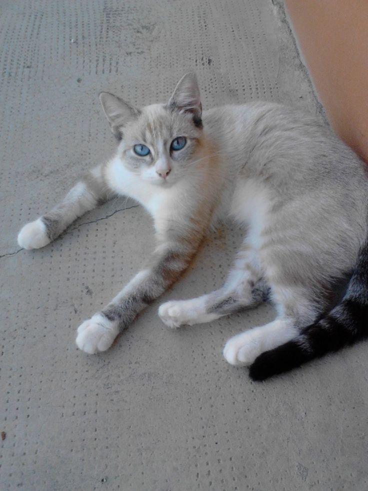 Gatta con occhi azzurri