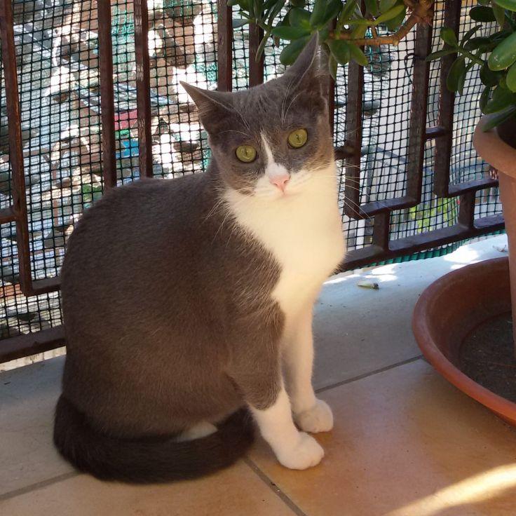 Minou gatta bianco grigia