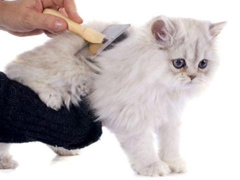 Come spazzolare il gatto Persiano