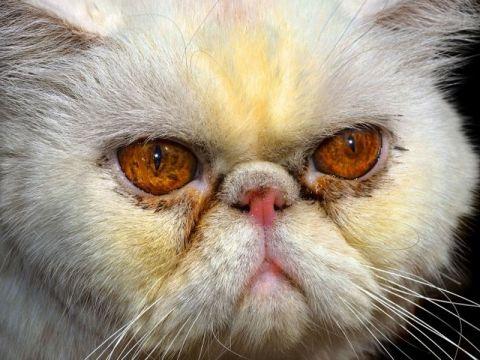 Occhi del gatto di razza Exotic Shorthair