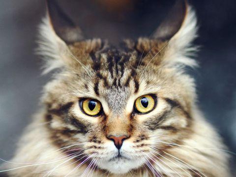 Muso del gatto di razza Maine Coon