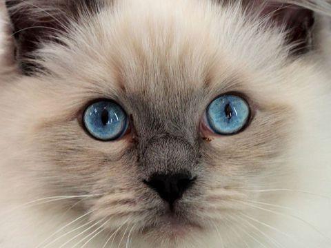 Occhi del gatto di razza Ragdoll