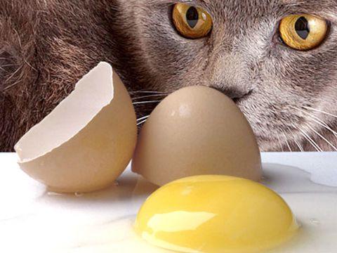 Alimentazione del gatto: le uova
