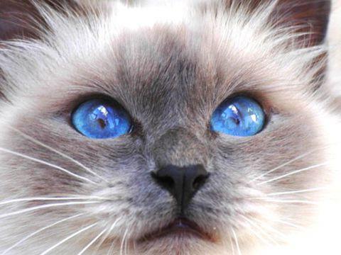 Occhi del gatto Birmano