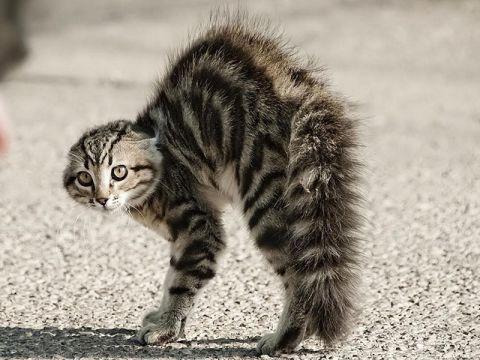 Gatto che si gonfia