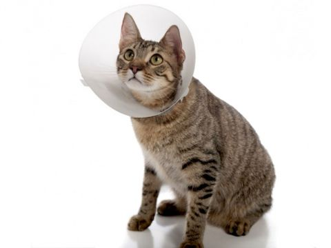 Gatto con gorgiera, collare elisabettiano