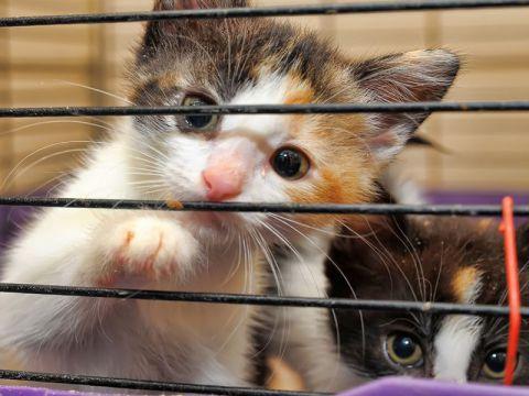 Come scegliere un gatto da allevatori
