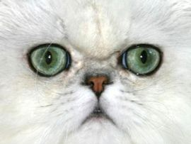 Gatto con occhi verdi