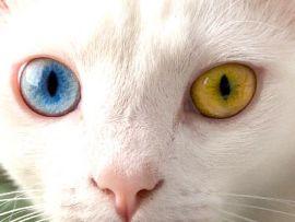 Gatto con occhi dispari