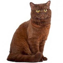 Gatto con mantello color cioccolato
