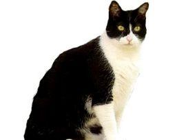 Gatto con mantello bianco bicolore