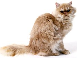 Gatto con mantello cameo