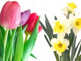 Tulipani e narcisi tossici per i gatti