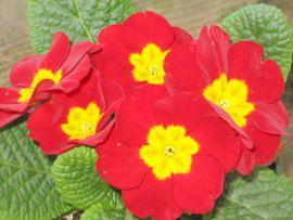I fiori della primula sono tossici per il gatto