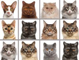 Allevamento gatti di razza