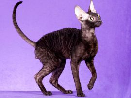 Gatto di razza Devon Rex