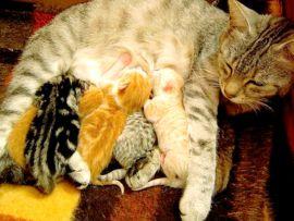 Allattamento dei gattini