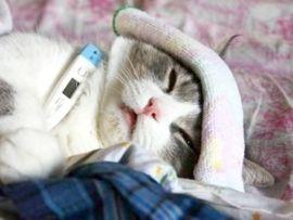 Rinotracheite virale del gatto (FVR)