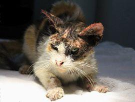 Malattie della pelle dei gatti