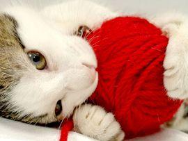 Gatto che mangia lana, lenzuola, maglioni, coperte
