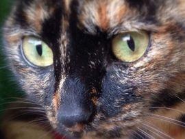 Cura e igiene degli occhi del gatto