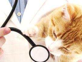 FIV Immunodeficienza felina, sintomi e cure