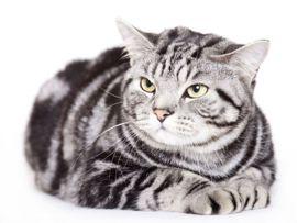 Razze feline: American Shorthair