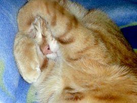 Gatto rosso che dorme