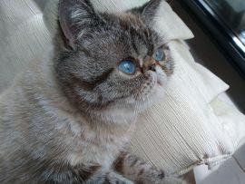 Gatto Exotic Shorthair con occhi blu