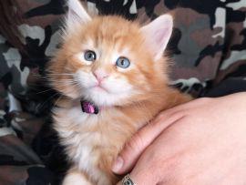 Micino rosso con occhi azzurri