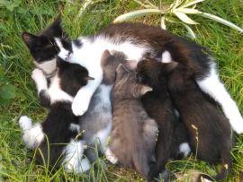 Mamma gatta allatta i cuccioli