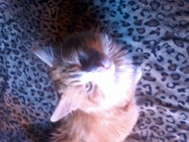 Foto gatti: gatto Kit